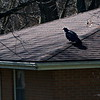4/19   Vulture on House Across Street