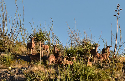 NEA_9677-BArbary Sheep