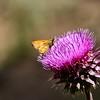 NEA_0396-7x5-Moth on Flower
