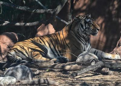 NEA_0872-7x5-Tiger