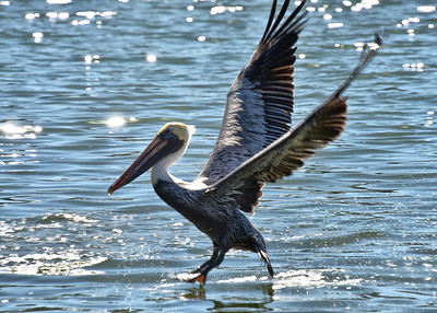 NEP_4108-7x5-Pelican