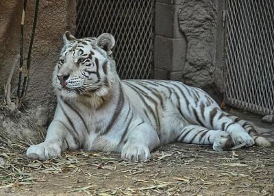 NEA_0871-7x5-White Tiger