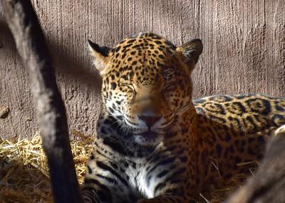 IND_6006-7x5-Leopard