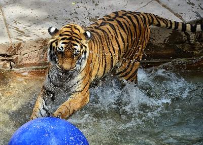 BOV_3820-7x5-Tiger at Play