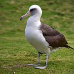 CAW_0003-7x5-Albatross