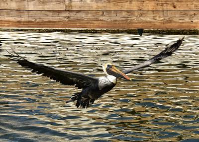 NEP_4139-7x5-Pelican