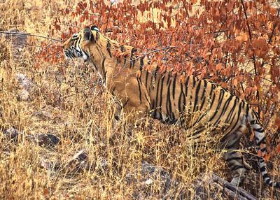IND_4201-7x5-Tiger