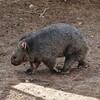NEA_5160-7x5-Wombat