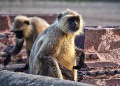 IND_4037-7x5-Monkey