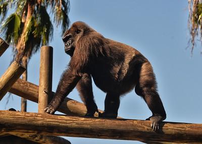 NEA_0817-7x5-Gorilla