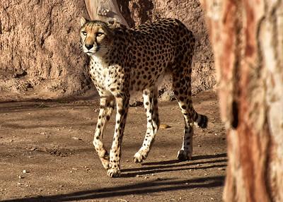 IND_6058-7x5-Cheetah