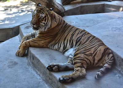 NEA_5693-7x5-Tiger