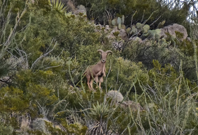 NEA_9618-Barbary Sheep-Lookout