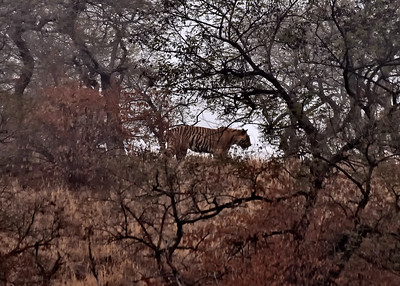 IND_4257-7x5-Tiger Leaving