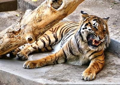 BOV_3830-7x5-Tiger