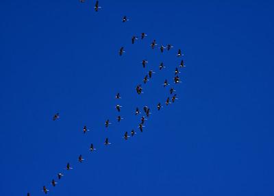 IND_6518-Cranes over Alamo