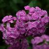6/20   Dianthus