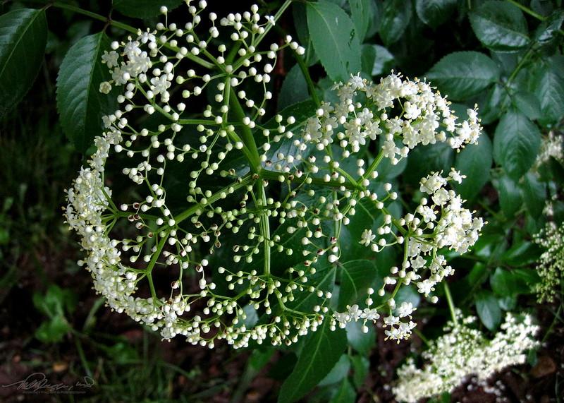 6/22   Elder berry Flowers