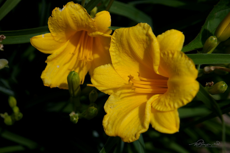 6/18   Yellow Day Lilies
