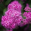 6/14   'Double Play' Pink Spirea