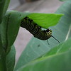 6/11  Monarch Larva On Our Milkweed