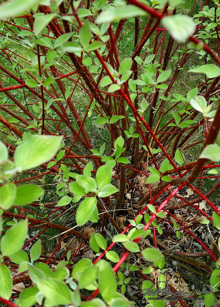 5/10   Red Osier Dogwood Starting to Change Colors