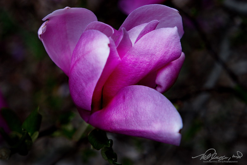 5/6   Rose Magnolia
