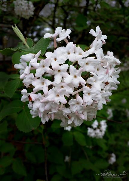 5/13  Viburnum Blooms