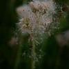 5/30  Hawkweed Seeding