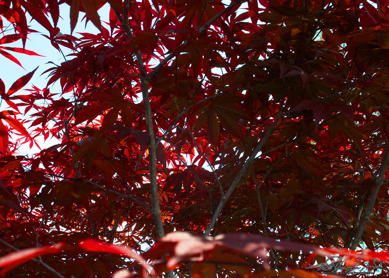 5/16   Japanese Maple Tree