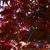 5/16   Japanese Maple Tree