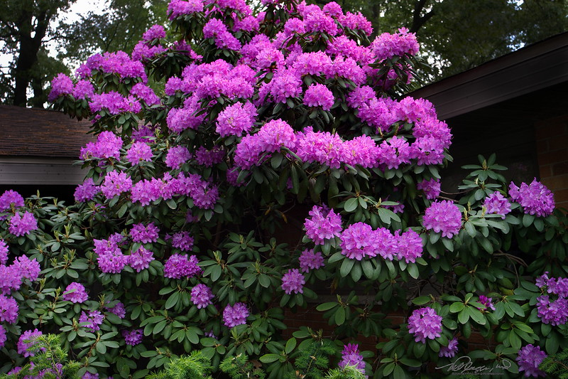 5/29   Rhododendron in Full Bloom