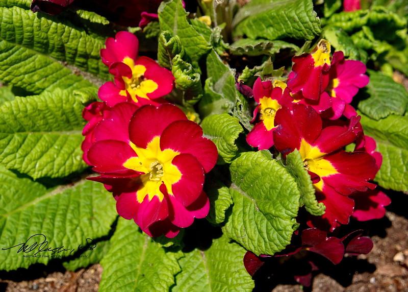 5/7   Primrose in Senior Center Garden
