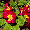 5/7   Primrose in Senior Center Garden