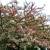 5/9   Ornamental Trees Starting to Bloom