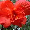 11/4    Begonia Blossom On Rosemary
