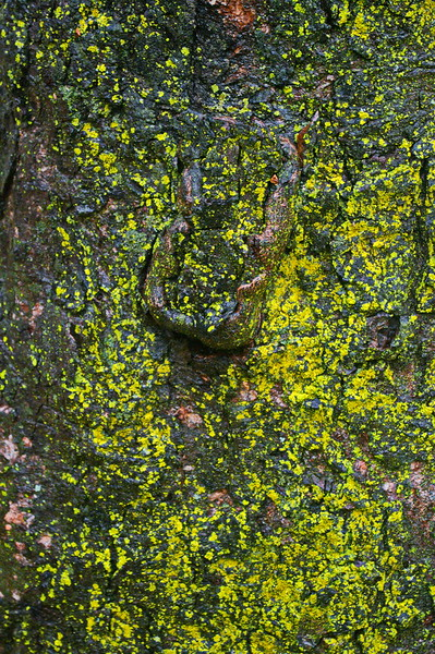 11/5   Lichens on Butternut Tree