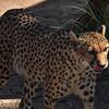 NEA_7274-7x5-Cheetah