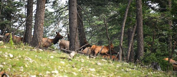 NEA_0421-Heard of Elk