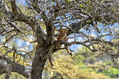 NEA_3561-Leopard