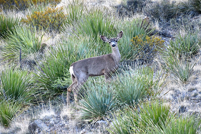 NEA_2570-Deer