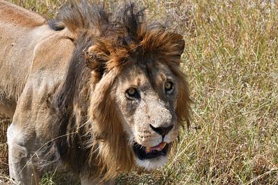 NEA_3908-Lion-Whats up