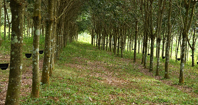 MYA_4209-Rubber Trees