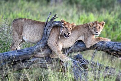NEA_3774-Lion Cubs