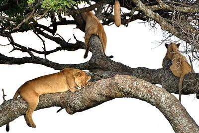 NEA_4059-Four Lions-Siesta Time