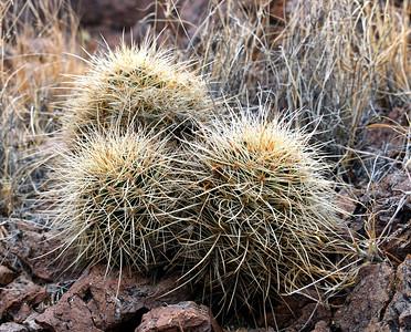 NEA_2984-Cactus