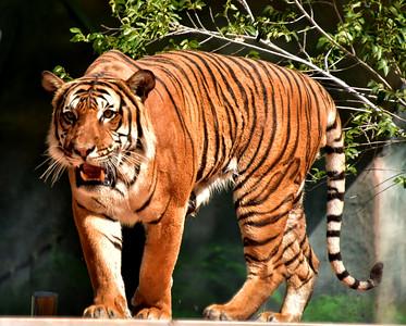 NEA_2465-Tiger