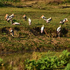 SRI_2579-7x5-Painted Storks