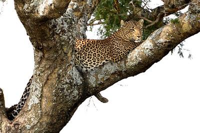 NEA_3582-Leopard
