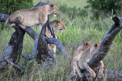 NEA_3720-Lions-3 cubs